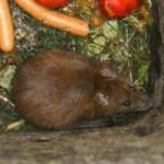 Ratte frisst Gemüse in einer Biotonne