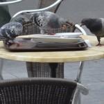 Tauben picken am Tisch